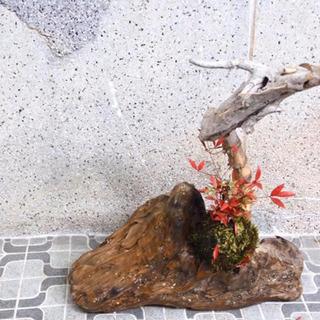 龍木と、南天苔玉です