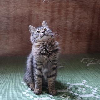 里親募集 猫 ねこ 飼ってください (オスの子猫)