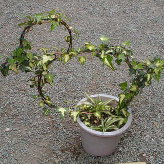 トピアリー仕立ての観葉植物アイビー