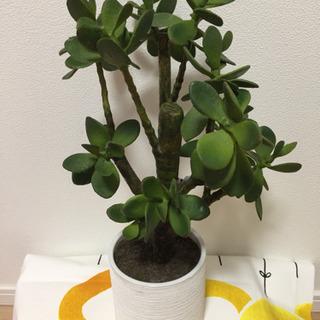 フェイクグリーン鉢植え モロコエンシス