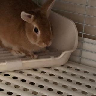 ウサギ 里親募集