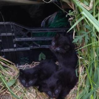 急募!!黒の子猫(男の子2匹)