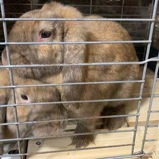 ロップイヤー兄弟ウサギ