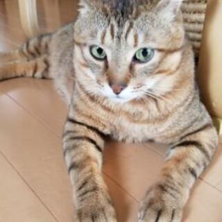 アメショー系の保護猫【俵くん】決定致しました
