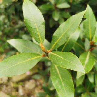 ローリエ  月桂樹の葉