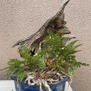 シダ植物  流木、植木、中