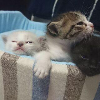 子猫もらって下さい