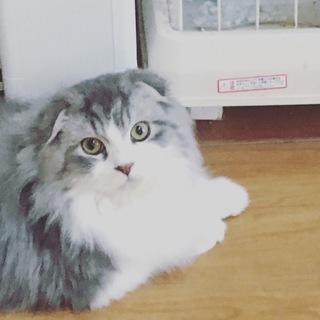スコティツシュたれ耳 まんまる顔の人懐こい長毛な猫