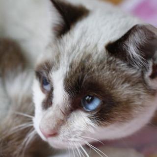 青い目のシャムミックス