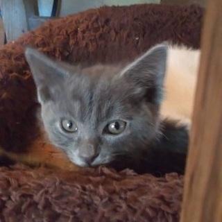 ずーくん(グレー)チロくん(白猫)兄弟 ♂3ヶ月