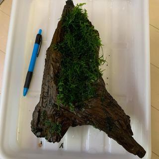 モス付き流木