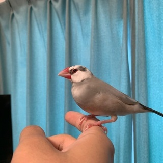 もうすぐ1歳の桜文鳥と白文鳥