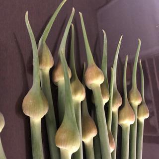 ジャンボにんにくの芽