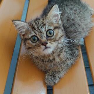 2ヶ月のペルシャのmixの猫