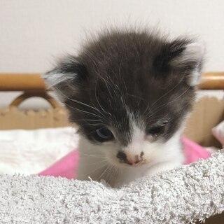 おかげさまで里親様決まりました。生後3週間程度の猫の赤ちゃん保護しています♡ - 栗東市