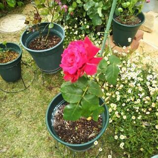 値下げ赤薔薇、フランクリースカーレット、ゴージャス