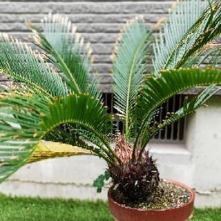 お取引確定。 観葉植物(ソテツ)鉢植えの画像