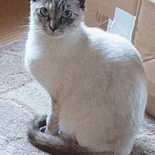 里親さん募集中!シャム猫メスです。
