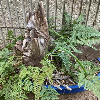 シダ植物 流木、植木鉢、大