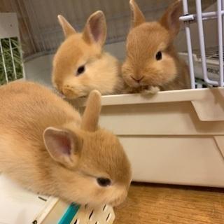 ミニウサギの赤ちゃんの里親様を募集