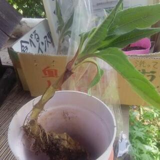 野菜の苗 菊芋