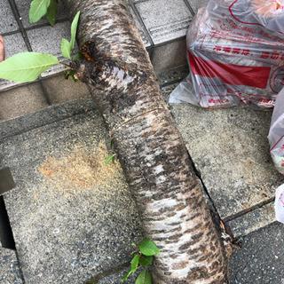 桜の木を切った幹