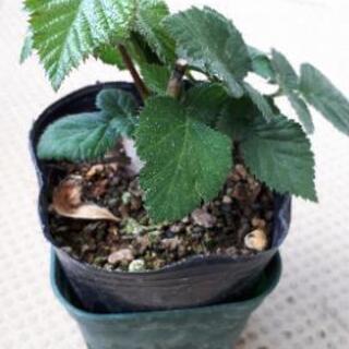 ブラックベリー 木苺の挿し木苗