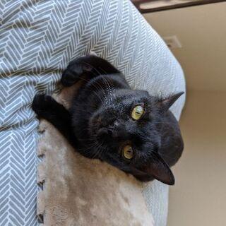1歳前後のオスの黒猫
