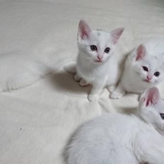 父ターキッシュアンゴラ✖️母サバトラの子猫です♪引き渡しは6月に...