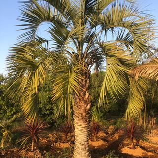 ココスヤシ  大型 シンボルツリー ヤシの木