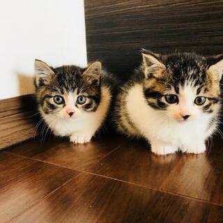 子猫2匹 里親募集 生後1か月半。 警察署・保健所届出済み(飼い...