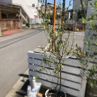 オリーブ苗木❷