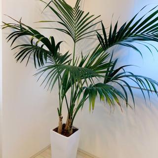 ロンハーマン風 大型観葉植物アレカヤシ