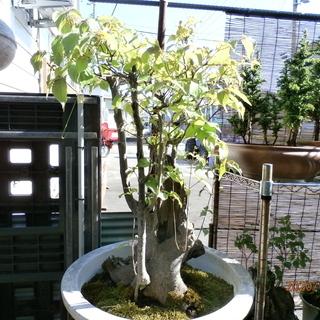 ヤマボウシの盆栽