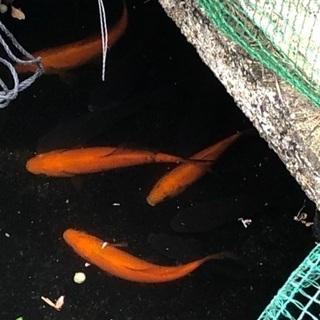 鯉10匹くらい。
