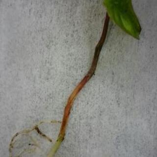 自然薯・山芋苗5cm以下