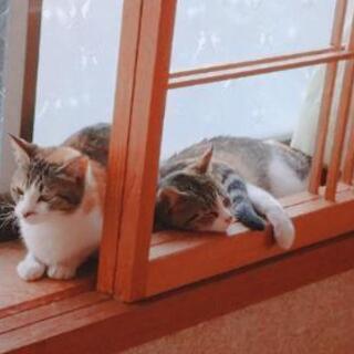 綺麗な三毛猫です。可愛がってくださるかた募集してます!