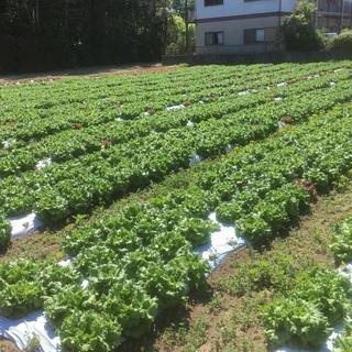 グリーンリーフ&トマトの収穫詰め放題