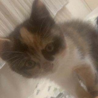 生後約2ヶ月の三毛猫の女の子です