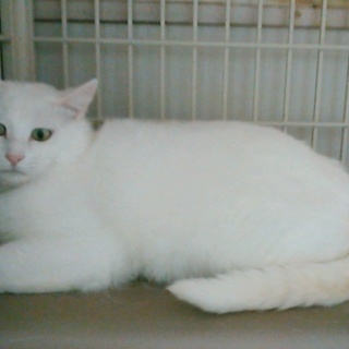 2才のメス、白猫