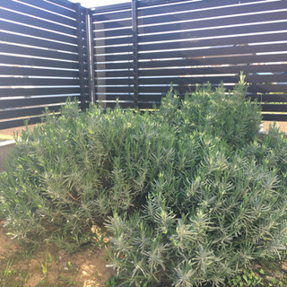 花苗 地植えラベンダー ⑥