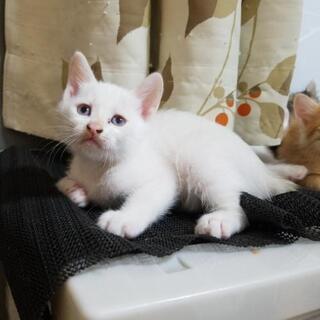 産まれて1ヵ月、白猫2匹。
