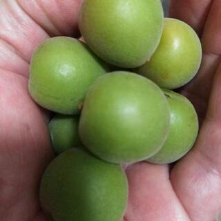 (注目❗❗)テレビや新聞でも話題の梅農家❗直前収穫採りたて無農薬...