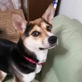 柴犬とコーギーのミックス1歳です。可愛がって育てました。