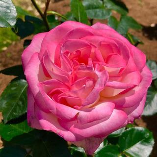 緊急告知‼️綺麗に薔薇を増やしましょう❤️ガーデンコーディネーターがおつたえするバラの挿木について - 富田林市