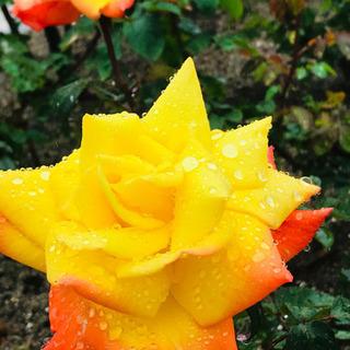 緊急告知‼️綺麗に薔薇を増やしましょう❤️ガーデンコーディネーターがおつたえするバラの挿木について − 大阪府
