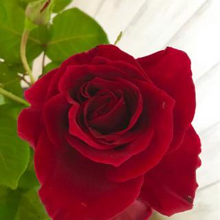 緊急告知‼️綺麗に薔薇を増やしましょう❤️ガーデンコーディネーターがおつたえするバラの挿木についての画像