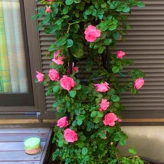緊急告知‼️綺麗に薔薇を増やしましょう❤️ガーデンコーディネーターがおつたえするバラの挿木について - フラワー