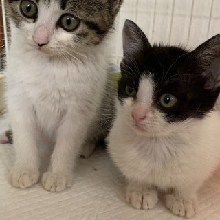 生後2か月ほど子猫姉妹2匹