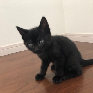 生後1ヶ月半の黒猫くん